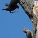 northern flicker and starling fighting von steve courson