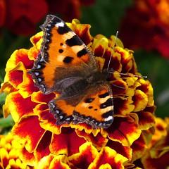 "Kleine Vos - Nymphalidae - Small Tortoiseshell"". (Cajaflez) Tags: orange flower nature butterfly natuur aglaisurticae kleinevos smalltortoiseshell vlinder bloem nymphalidae nymphalisurticae afrikaantje bej abigfave theunforgettablepictures thesuperbmasterpiece saariysqualitypictures thebestofmimamorsgroups mygearandme mygearandmepremium mygearandmebronze mygearandmesilver mygearandmegold mygearandmeplatinum ringexcellence elitebutterflies1"