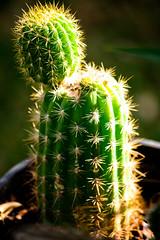 Cactus, Alice Springs, Australia