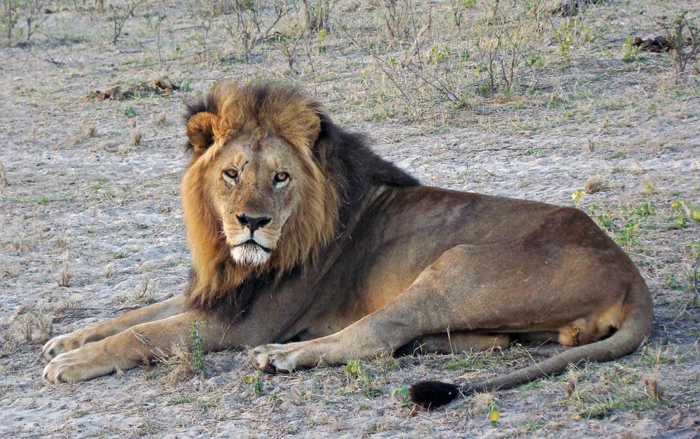 DSC08517 Lion