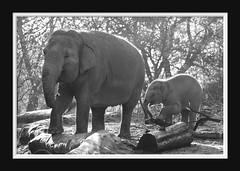 Elephant Love Serie 006 (Mandy van Tilborg) Tags: mandy elephant zoo blijdorp van olifant jong olifanten indische diergaarde aziatische olifantje olifantenjong tilborg
