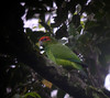Pionopsitta pileata (barbetboy) Tags: fbwnewbird fbwadded pionopsittapileata