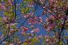 Villa Taranto, Lago Maggiore, Italy (Rosarian49) Tags: park arboretum taranto cornus floweringtree cornusflorida italiangardens rosarian49