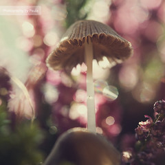 Happy Mushroom Bokeh Wednesday! (Morphicx) Tags: pink light sun sunlight plant blur macro fall nature mushroom netherlands colors closeup canon garden bokeh 100mm ish f28 deventer bokehwhores bokehwhore cinnamonrose cinnamonroseaction