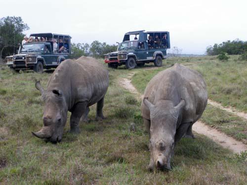 Nashorn-Paar mit Auto-Paar