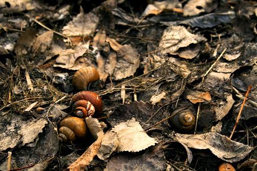 snail shells, empty