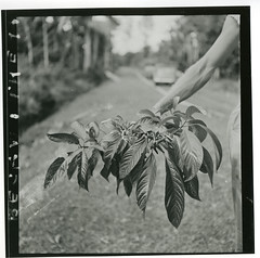 Clerodendrum minahassae collected by Hugo Curran near Masamba