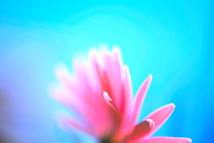 The imago of light (.I Travel East.) Tags: life pink light flower color virginia nikon cyan v batonrouge gerbera happybirthday bloom nikkor imago mabuhay felizcompleanos nikkor105mmf28vr d700 nikond700 imago2007 maligayangkaarawan theimagooflight