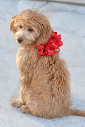 goldendoodle mini puppies. hairstyles mini goldendoodle