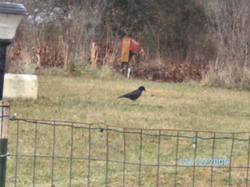 Raven(s): front yard