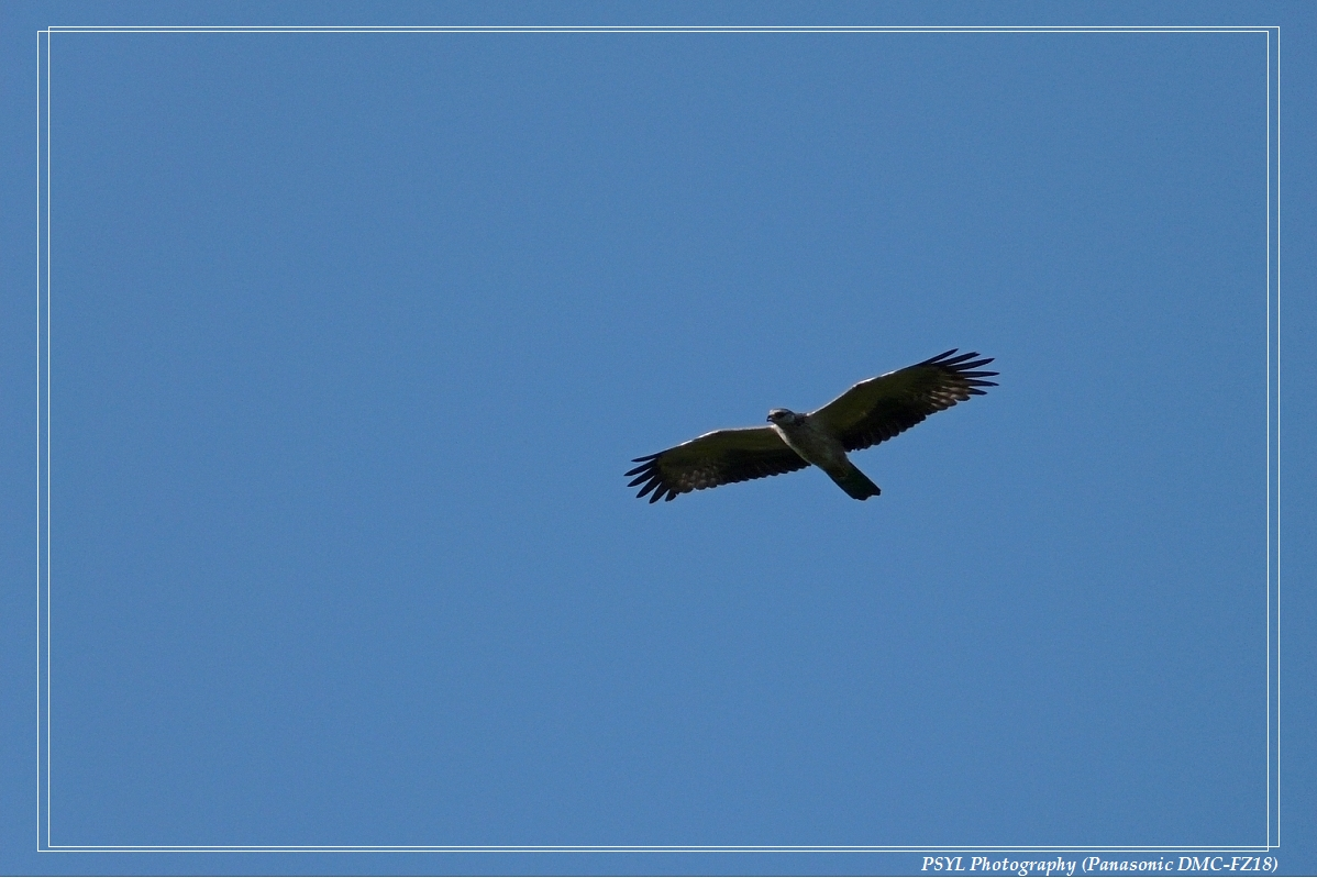 Oriental Honey Buzzard (Pernis ptilorhynchus) - 蜂鷹