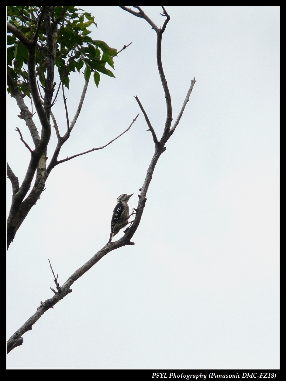 Grey-capped Pygmy Woodpecker (Dendrocopos canicapillus) - 小啄木