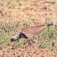 Digging for food... (Sir Mart Outdoorgraphy) Tags: bird magazine education nikon photographer bokeh outdoor birding best malaysia lapwing penang indah birdwatching birder butterworth perak unik nikonian d90 menarik selama nikonuser jurugambar penangflickr sigma150500 sirmart outdoorgraphy penangflickrgroup sgbayor greyheadedlapwingvanneluscinereus vanneluscinereus