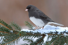 Junco (Steve Byland) Tags: snow bird nature canon junco 7d hyemalis darkeyed avianexcellence vosplusbellesphotos