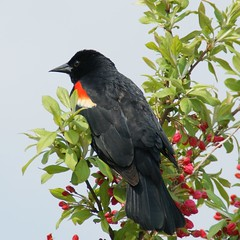 Red-winged Blackbird in Spring blossom (aokcreation - part-time) Tags: red bird nature animal closeup blossom wildlife ngc blackbird birdwatcher redwingedblackbird naturesfinest sony350 thewonderfulworldofbirds