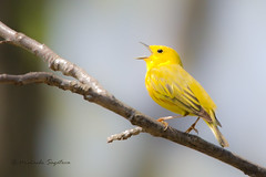 _53F3809 Yellow Warbler (~ Michaela Sagatova ~) Tags: male bird nature singing dundas yellowwarbler dendroicapetechia woodwarbler birdphotography dvca michaelasagatova