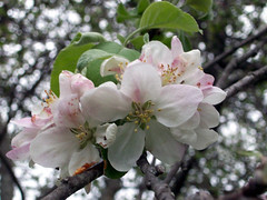 AppleBlossoms_51111l