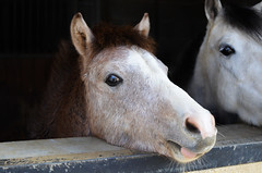 Granola (DoddieElodie) Tags: horse pony baby poulain seloncourt