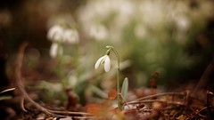 #EarlySpringSigns (Caropaulus) Tags: alpha7 blur bokeh fleur flickrfriday flower lens minolta perceneige rokkor snowdrop spring vintage winter earlyspringsigns
