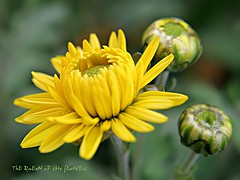 blonde bomb:)) (NURAY YUZBASI) Tags: green yellow happy photo amazing dof god group drop bud thursday chrysanthemum bless the abigfave gorgepus 100commentgroup vosplusbellesphotos hggt makroturk prayme