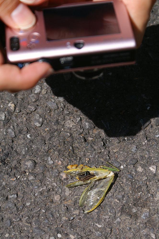 大崙頭尾014 跟螳螂同歸於盡的鐵線蟲