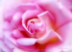 Pure softness (❁bluejay 2006❁) Tags: pink summer canada flower macro nature fleur rose july saturday dreamy breathtaking chilliwack beautifulbritishcolumbia nikond40 damniwishidtakenthat simplythebest~flowers vosplusbellesphotos bluejay2006 pleasefaveme gottogetmorecoffee dragondaggerphoto mamasbloomers mharveyphotography boxofhappymemories flickrvault magicunicornverybest