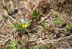 Blmchen auf dem Almberg (Kayashi) Tags: summer flower macro bayern bavaria sommer blume makro 2009 bayerischerwald bavarianforest