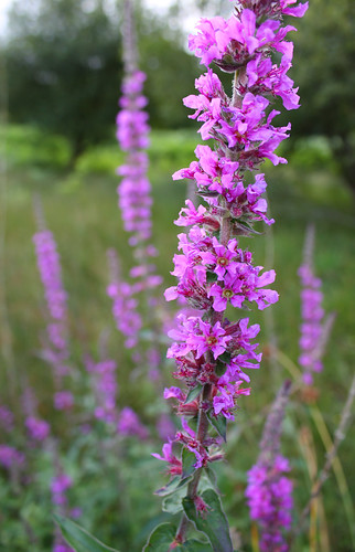 Purple flower (Purple loosestrife?)