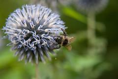 Parc Floral - Vincennes-14 (MissDogo) Tags: paris macro fleur closeup parc insectes vincennes chardon parcfloral bourdon proxyphoto hym hyménoptères hymnoptres