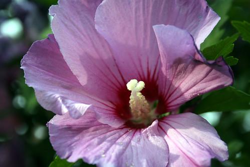 Rose of Sharon tree - flower 2