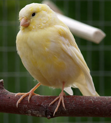 Young Yellow Canary (the.deanery) Tags: uk england bird yellow olympus chick aviary canary e500 fourthirds aviculture birdkeeping