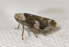 Common Froghopper lateral (lofaesofa) Tags: uk england english insect britain british essex thurrock hemiptera stanfordlehope philaenusspumarius taxonomy:class=insecta taxonomy:kingdom=animalia taxonomy:phylum=arthropoda taxonomy:order=hemiptera taxonomy:genus=philaenus aphrophoridae taxonomy:family=aphrophoridae taxonomy:species=spumarius taxonomy:binomial=philaenusspumarius stanfordmarshes