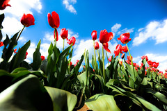 Tulip Festival (SSNNYY) Tags: tulip flower sky cloud lookup leave green red blue white clear nikon nikkor d700 fx 1424mm 14mm fullframe melbourne    low wide angle    landscape