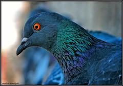 nasl grnyorum... (paannyeri) Tags: orange green animal relax pigeon yeil hayvan lacivert turuncu paannyeri muhsinnusretkaralolu gvencin fotografca dostr