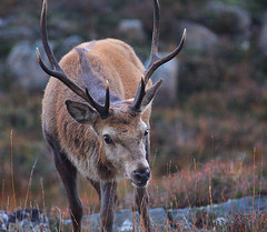 Glen Cannich Red Stag (Chris Sharratt) Tags: autumn scotland highlands cervuselaphus reddeerstag chrissharratt