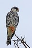Amur Falcon by Jacques de Villiers