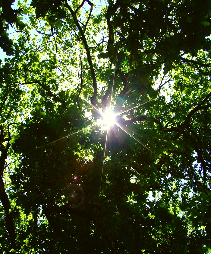 sun through an oak