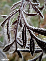 (monteregina) Tags: plants brown white canada abstract macro ice nature leaves fog closeup design frost hoarfrost patterns details freezing textures qubec abstraction plantae eis blanc raureif brun feuilles plantes glace reif abstrait whitefrost dtails kristalle rauhreif frimas eiskristalle geleblanche monteregina