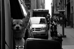 Dog is watching (Airicsson) Tags: street new york city nyc urban blackandwhite bw usa dog white ny newyork black car america island lumix us is photo noir vespa shot manhattan watching scene nb panasonic streetphoto et blanc streeshot blackwhitephotos lx3