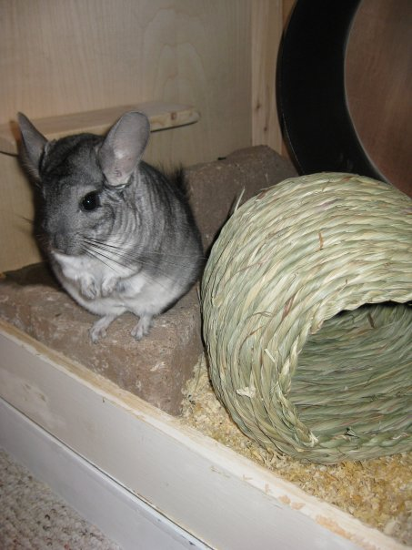 Hamsters, Chinchillas, & Other Rodents Thread: incredibly