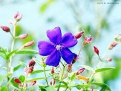 O CENTRO DAS ATENÇÕES (The Center of the Attentions) (jonycunha) Tags: brazil flower nature brasil garden purple flor jardim bouquet roxo valedoribeira h50 itapeúna jonycunha