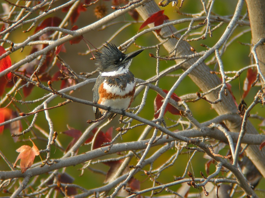 Belted-Kingfisher-11081-2