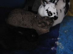 Stormy, Beau, Lena (parakkum) Tags: rabbit bunny bunnies december stormy lena rabbits 13 2009 beau