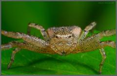 波紋花蟹蛛-03 (Taiwan-Awei) Tags: 波紋花蟹蛛 awei750 nature macro ecology spider 自然 生態 八足 蜘蛛 掠食者 微距 taiwanawei awei 林敬偉