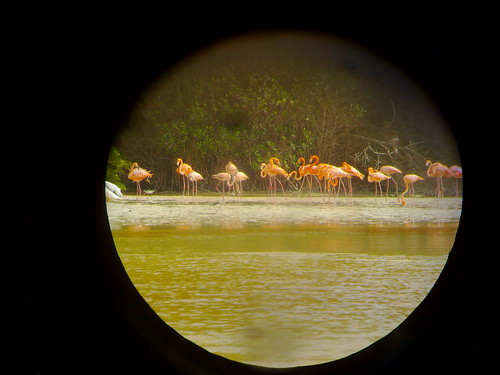 Flamingoes in close-up
