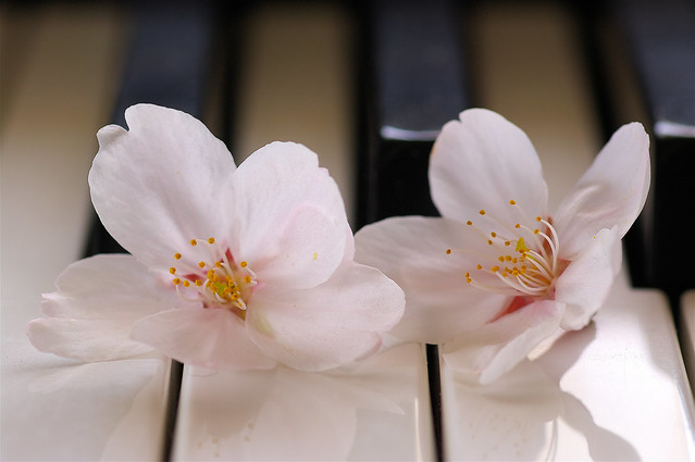 Cherry blossoms and Piano