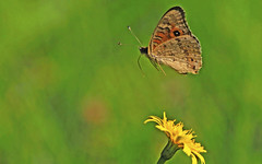 Meadow Argus : Where to ??? (Clement Tang ** Busy **) Tags: morning autumn flower nature floral butterfly insect inflight feeding wildlife australia victoria yellowflower dandilion closetonature meadowargus junoniavillida concordians candlebarkpark