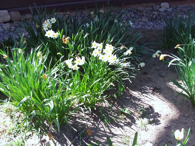 Narcissus Daffodils