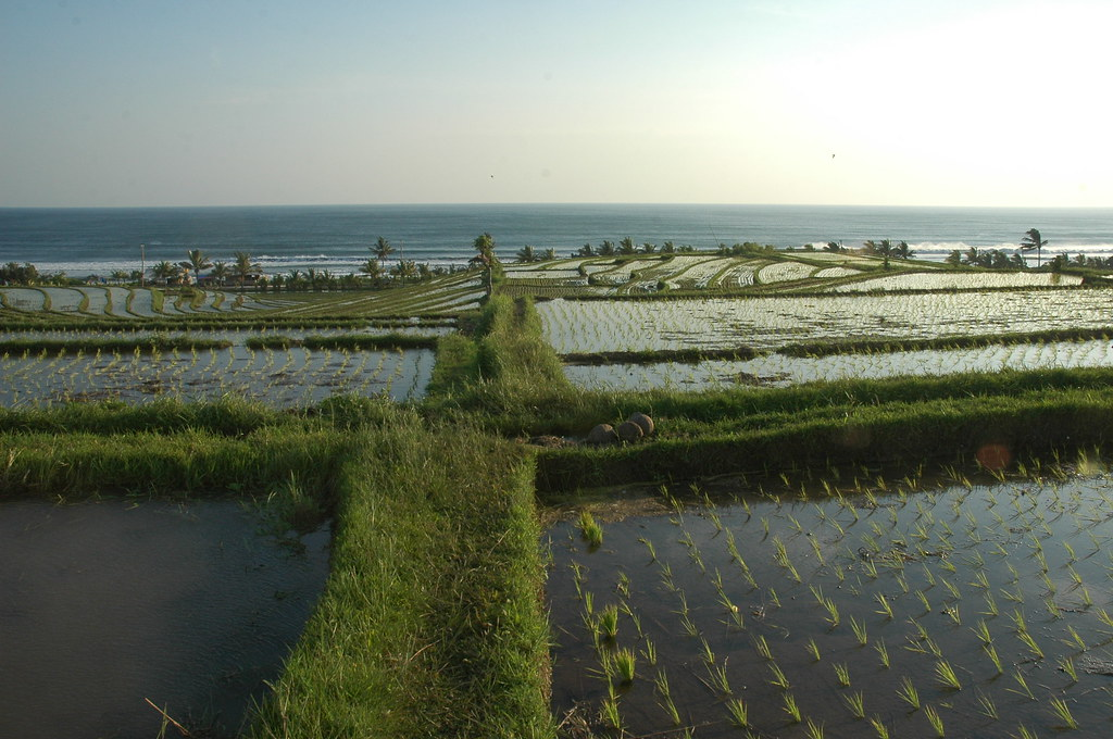 Rice fields outside Balian, Bali