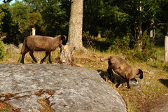Sheeps (AdurianJ) Tags: pictures canon europa sweden dslr scandinavia suecia lenses 欧洲 スウェーデン ヨーロッパ nórdico escandinavia 瑞典 北欧 斯堪的纳维亚 ノルディック adurianj